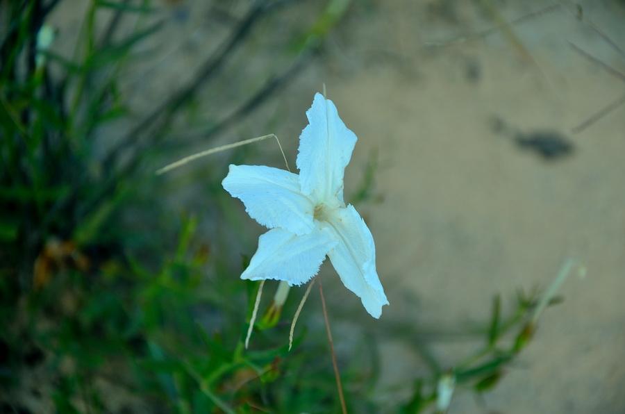 Цветы Ни сало ни мясо — национальный парк Изало на Мадагаскаре Ни сало ни мясо — национальный парк Изало на Мадагаскаре DSC 5684