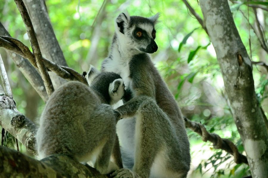 Кольцехвостый лемур Ни сало ни мясо — национальный парк Изало на Мадагаскаре Ни сало ни мясо — национальный парк Изало на Мадагаскаре DSC 5813