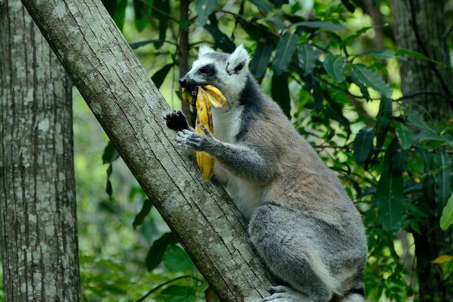 Лемур катта Ни сало ни мясо — национальный парк Изало на Мадагаскаре Ни сало ни мясо — национальный парк Изало на Мадагаскаре DSC 5819